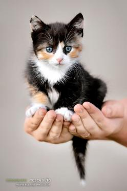Stunning Calico Kitten: Kitty Cats, Sweet, Blue Eyes, Calico Cats, Cats Kittens, Animal