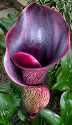 The dramatic Black Forest Calla Lily.  I am sending this to You my Darling... share it at work. XOXO: Dramatic Black, Calla Lilies, Black Flowers, Calla Lilly, Forest Calla, Calla Lily, Calla Lillies