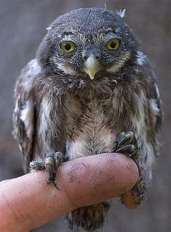 The Eurasian Pygmy Owl is the absolute smallest living owl species in Europe! Its coloring is fairly typical for a temperate zone owl, a brown or sometimes ruddy greyish plumage with white speckles and white/brown breast feathers. These little owls prefer
