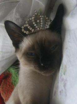 They do see themselves as royalty, don't they?    found at http://catjpg.tumblr.com/post/20143462538#: Funny Animals, Beauty Animals, Siamese Cats, Princess, Crowns Tiaras, Pet, Cats Siamese, Prom Queens