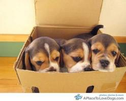 This reminds of me when I went to see Riley for the first time... except there were 9 beagle puppy in a box, not just 3.: Animals, Beagle Puppies, Boxes, Puppys, Beagle Brigade, Dogs Beagles, Beagles Beagles, Beagles 3