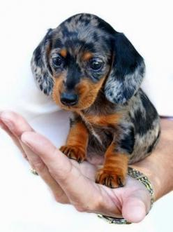 Top 5 Stubborn Dog Breeds: Dogs, Dachshund Puppies, Dapple Dachshund, Baby Dachshund, Animal, Small Breed Dog