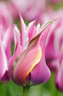 "Tulip ""Ballade': Blommor Flowers, Flores Flowers, Flores Tulips Tulipanes, Flowers Bushes Trees, Beautiful Flowers"