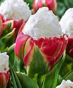Tulip 'Ice Cream' - Bulb  Tulipa    New! This magnificent tulip definitely lives up to its name, as when in bloom it looks just like a delicious ice-cream - it looks almost good enough to eat. The outer deep-pink petals open to reveal the inner so
