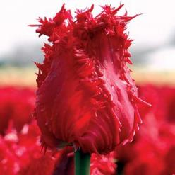 Tulipa 'Barbados': One of the most fragrant tulips in the garden, Barbados is full of surprises. The blooms begin solid green, their beautifully fringed edges tightly furled. Then, as they open, they turn a rich shade of crimson!: Barbados Tulip,