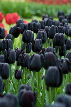 Tulipa 'Cafe Noir' - Brooding near-black flowers top the stout stems of this single late tulip. Excellent in late spring and early summer bedding schemes, its rich chocolate-red colouring looks great as a contrast to creamy whites and yellows, or