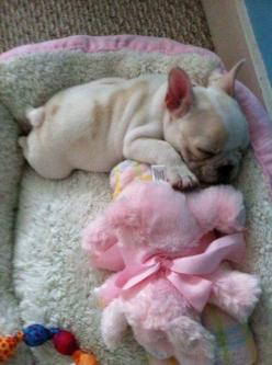 What a bundle of frenchie sweetness ~ I am getting a toothache just from gazing on this little sweetie :): Baby Frenchie, Animals, Sweet, French Bulldogs, Bulldog Puppies, Puppy, Box