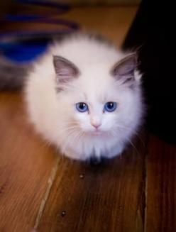 Where have you been?  Couldn't you have called?  You know I worry!: Ragdoll, Kitty Cats, Animals, Fluffy Kittens, White Cat, Eye