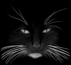 Whiskers ...one of the best feline fotos I've seen in a long time!: Face, Animals, Kitty Cat, Black Cats, Beautiful, White, Whiskers, Kitty Kitty, Photo