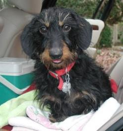 wirehair dachshund: Wirehair Doxie, Wirehair Dachshunds, Wirehaired Dachshund Puppies, Dachshund Baby, Wire Haired Dachshund Puppy, Wirehaired Dachshunds And