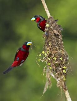 Black-and-red Broadbill	  (Cymbirhynchus macrorhynchos)