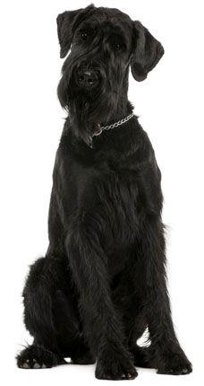 Giant Schnauzer!  the Giant Schnauzers are very : loving, child friendly, affectionate, loyal, smart, high maintenance, adaptable, and they make a wonderful inside dog believe it or not.  be prepared, they think they are human, and expect to be treated as