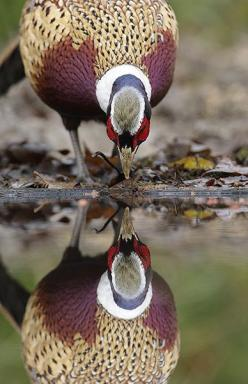 Ring-necked Pheasant    photo by Mark Hancox    kThis post has 65 notes   tThis was posted 11 months ago  zThis has been tagged with animals, game bird, pheasant,: Animals, Ring Necked Pheasant, Pheasant Photo, Animal Reflection, Reflections, Mirror Image