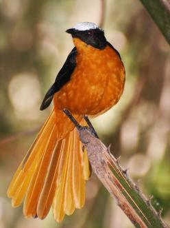 The White-crowned Robin-Chat Cossypha Albicapilla, is a species of bird in the Muscicapidae family. It is found in Benin, Burkina Faso, Cameroon, Central African Republic, Ivory Coast, Ethiopia, Gambia, Ghana, Guinea, Guinea-Bissau, Mali, Niger, Nigeria,