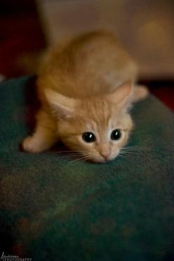 """""""Among  human beings, a cat is merely a cat; among cats, a cat is a prowling shadow in the jungle."""" --Karel Capek: Orange Tabby Kitten, Cats, Orange Cat, Kitty Cat, Cat Eye, Crazy Cat, Kittens, Animal"""