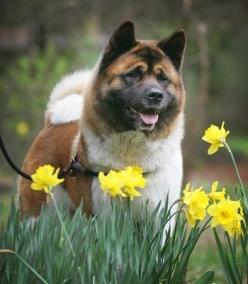 Akita amongst daffodils.   Visit NoahsDogs.com for more information about the breed and others like it.  #akita #noahsdogs