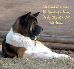 ❤ Akita ❤ sums them up pretty well. Mine is kinda dopey. He's only 11 months though.