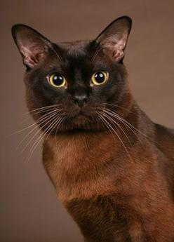 Brown - Bruin: Beautiful Cat, Kitty Kitty, Brown, Burmese Cats, Chat, Cat Breeds, Animal