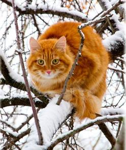 Cat In The Snow In A Tree  For more Christmas cats, visit https://www.facebook.com/funholidaycats: Kitty Cats, Animals, Kitten, Winter, Tree, Pet, Snow, Orange Cats