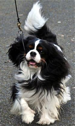Cavalier King Charles  Tri-color A charming dog with a wonderful temperament.  #dog http://www.annabelchaffer.com/categories/Dog-Lovers-Gifts/