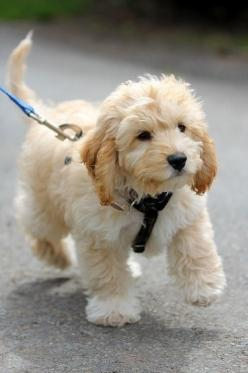 Cavapoo (Cavalier King Charles Spaniel and Poodle mix) AAAAAHHHHHHH!!!!!!!!. ~ Cute puppy and dog