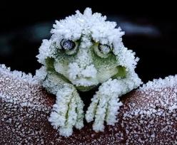 During the cold winters, the Alaskan Wood Frog becomes a frog-shaped block of ice. It stops breathing, and its heart stops beating. When Spring arrives the frog thaws and returns to normal going along its merry way.: Animals, Winter, Tree Frogs, Alaskan W