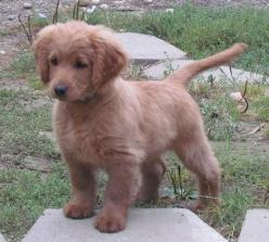 Full grown golden cocker retriever. They stay puppies forever!!!!  oh my gosh, I need.