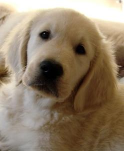 golden retrievers...so cute - Click image to find more Animals Pinterest pins