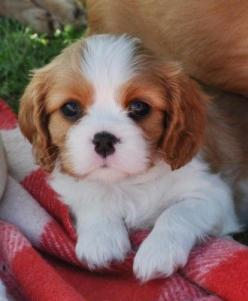 I don't think my Beau was ever this fluffy, but look at that face!! :) Cavalier king charles spaniel: Cavalier Spaniel, Spaniel Puppies, Dogs, King Charles Cavalier Puppy, Cavalier King Charles Spaniel, Animal, King Charles Spaniels, Cavalier King Cha