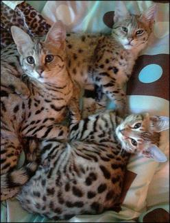 I would love to be able to have a Savannah cat as a pet one day!!