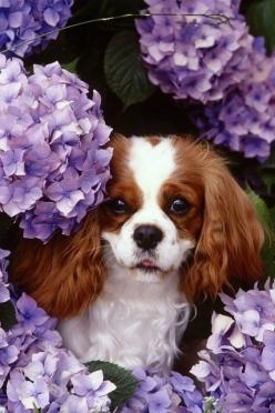 King Charles Cavaliers are the cutest dogs.  Anyone agree?