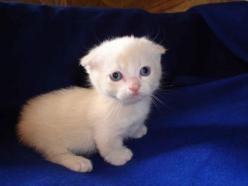 Munchkin Scottish Fold.  That sound you hear is your brain melting from overexposure to cute.