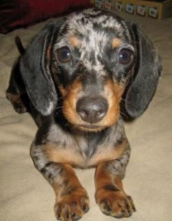 Pickle the Miniature Dachshund . . . my girlfriend got one just like it!