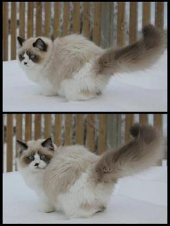 Pictures of Ragdoll Cats in Snow http://www.floppycats.com/ragdoll-cats-in-the-snow.html