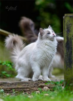 Ragdoll Cat... So fluffy and majestic, they are a beautiful breed <3