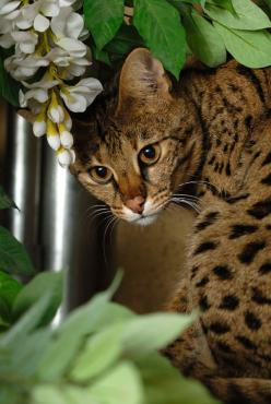 Savannah cat is a domestic hybrid cat breed. It is a cross between a serval and a domestic cat. Savannah cats are one of the larger breeds of domesticated cats. The Savannahs' tall and slim build gives them the appearance of greater size than their ac