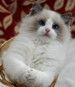 "Temperament and Personality of Ragdoll Cats.Click the picture to read. ""Want to c what's in my hands.....? It's soon to be your face nail deep in my claws, jk heehee"": Animals, Ragdoll Cats, Pet, Ragdollcats, Kitty Kitty, Rag Doll"