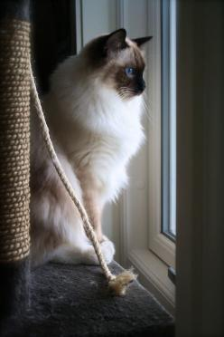 The original Kitty Girl was a ragdoll cat. She was beautiful.