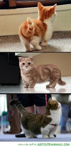 Theyre like Corgi Cats!!! Munchkin Cats. I want one!! I need one of these!!: Munchin Cat, Munchkins Cat, Dwarf Kitten, Muchkin Cat, Munchkin Kitten, Dwarf Cat, Adorable Kitten, Munchkin Cat Breed