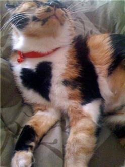 This is Bernice the cute calico cat with a heart on her chest: Kitty Cats, Animals, Kitty Kitty, Big Heart, Calico Cats, Kitties, Valentine