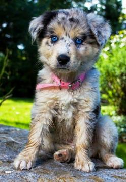 Top 10 Healthiest Dog Breeds. RadioFence.com Pet Products: Animals, Dogs, Australian Shepherd Dog, Puppys, Blue Eyes, Aussie