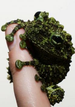Vietnamese Mossy Frog.... I don't normally like frogs and the like...but look at it!