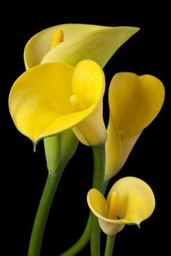 Сalla Lilies: Сalla Lilies, Yellow Calla, Calla Lilies, Beautiful Flowers, Garden, Calla Lily, Yellow Flower, Calla Lillies, Flower