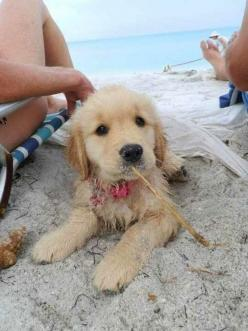 10 fun facts about dogs, good to know these facts and see the cute pictures :): Beaches, Puppies, Animals, Cute Puppie, Dogs, Golden Retrievers, Puppys, The Beach