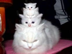 3 little kitties!!                                                                   I am sure this is Photoshopped, but its still funny!: Kitty Cat, Animals, Funny Cats, Pets, Crazy Cat, Kittens, Cat Lady