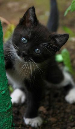 """Am I not the most adorable little thing""? ("""") (""""): Kitty Cats, Animals, Cute Animals, Black And White Kitten, Cats Kittens"