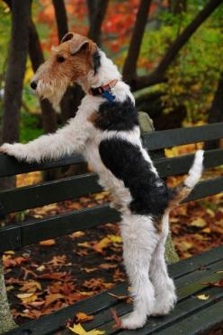 """""""Catch me if you can?"""" #dogs #pets #WirehairedFoxTerriers Facebook.com/sodoggonefunny: Dogs, Wirehairedfoxterrier, Wire Haired Fox Terrier, Pets Wirefoxterriers, Wirehair Fox, Wire Fox Terriers, Wirehaired Fox Terrier, Animal"""