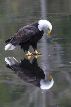 """Eagle on Ice"" ~ Photo by James Geddes: ""This eagle seems to be pondering his reflection in the ice. What is he thinking? Does he realize it is a reflection? Or is he peering through the ice to the fish below .""..: Picture, Wild Animal, An"