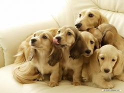 """""""Maybe if we all stare and look cute they will give us that yummy smelling snack they have"""": Puppies, Animals, Dogs, Dachshund, Pets, Doxie, Puppys, Families"""
