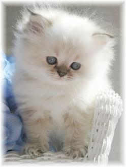"""Misia""  Blue Lynx Point   Toy Himalayan Kitten  ...maybe I could be a dog person AND a cat person...: Cats, Animals, Sweet, Pet, Kitty Kitty, Kittens"